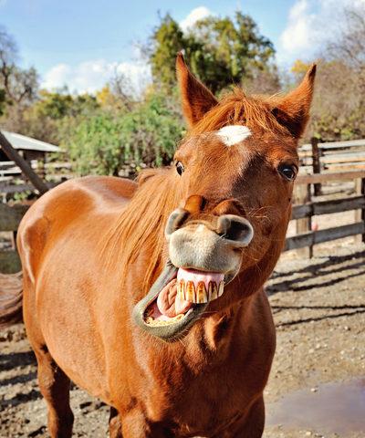 Horse teeth floated